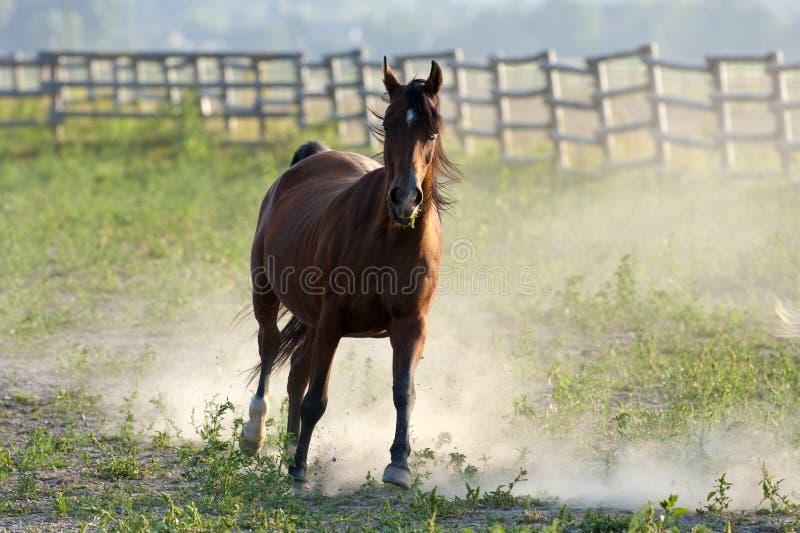 棕色疾驰的马 免版税库存照片
