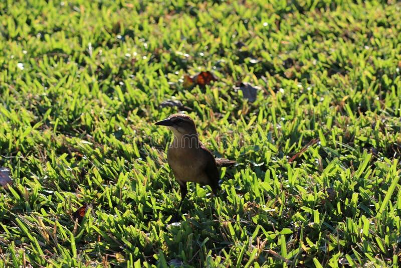棕色的鸟一点 免版税库存图片