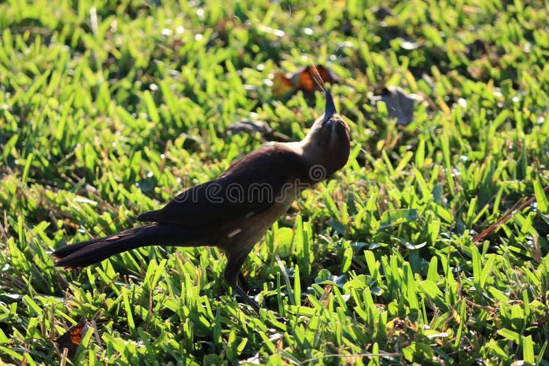 棕色的鸟一点 免版税库存照片