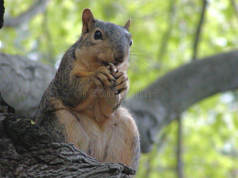 棕色红松鼠 免版税库存照片