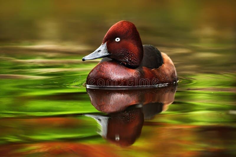 棕色红鸭子,氧化尿嘧啶jamaicensis的女性,与美丽绿色和红色上色了水表面 免版税库存照片