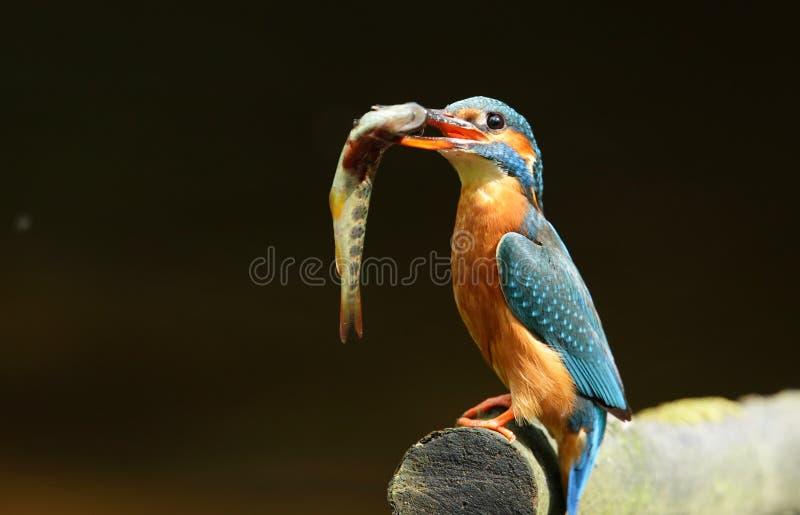 棕色翠鸟鳟鱼 免版税图库摄影