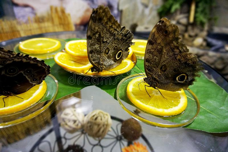 棕色蝴蝶坐柠檬 库存照片