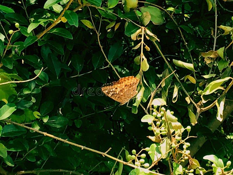 棕色蝴蝶查出的白色 库存图片