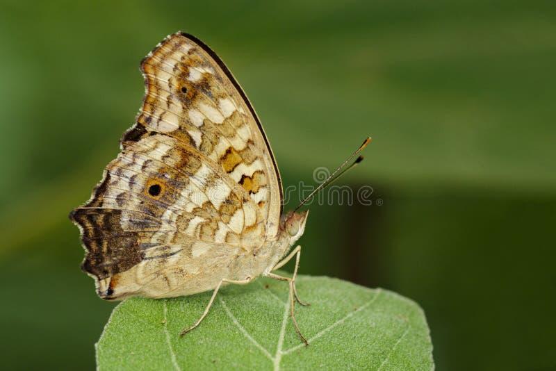 棕色蝴蝶Satyridae的图象在绿色叶子的 昆虫 库存图片