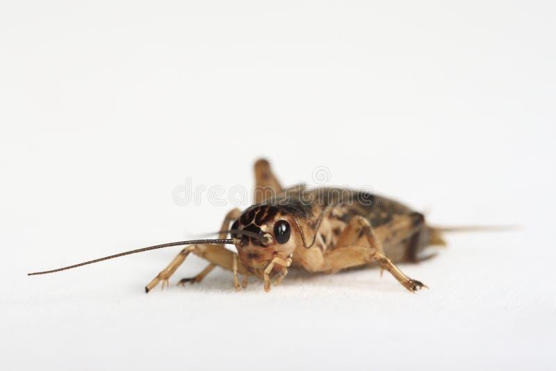 棕色蟋蟀 库存照片