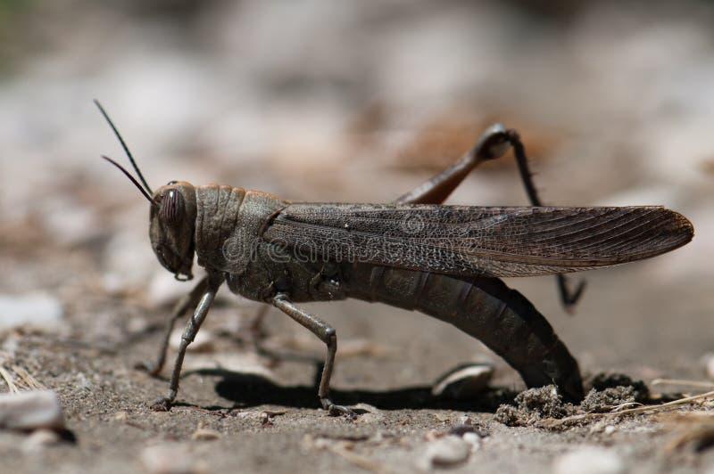 棕色蟋蟀 免版税库存照片