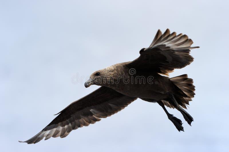 棕色贼鸥 图库摄影