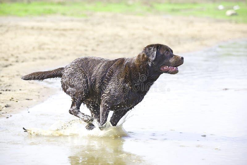 棕色跳的拉布拉多水 免版税库存照片