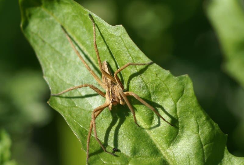 棕色近景蜘蛛 免版税库存照片