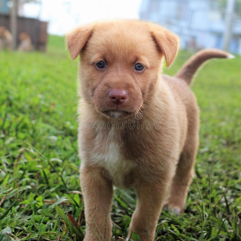 棕色逗人喜爱的纵向小狗 库存图片