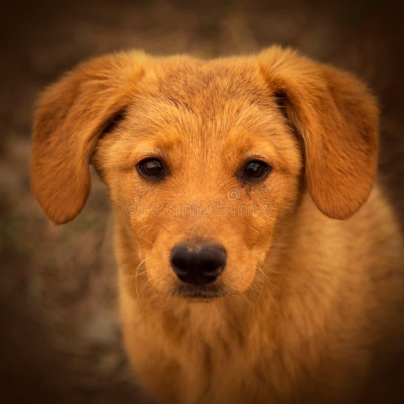 棕色逗人喜爱的纵向小狗 免版税库存照片
