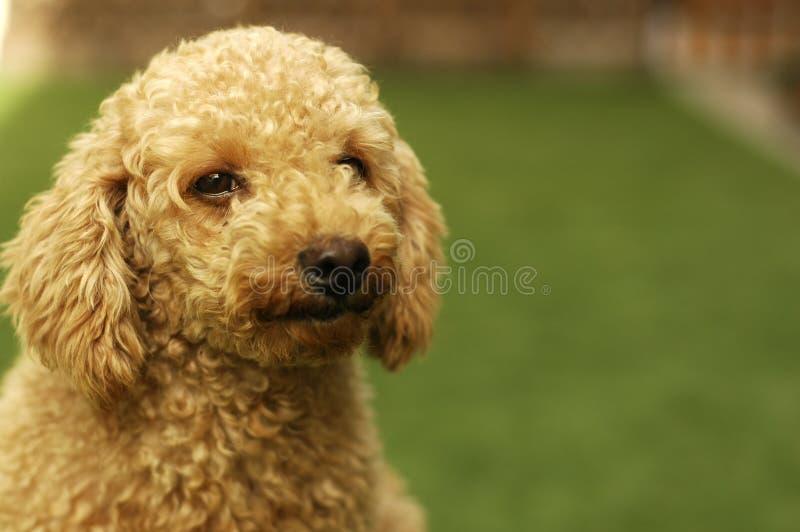 棕色逗人喜爱的长卷毛狗 图库摄影