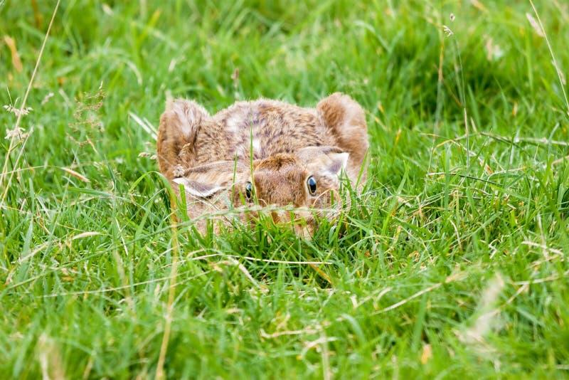 棕色野兔 免版税库存图片