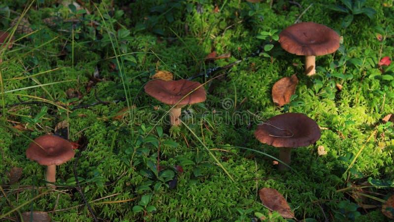 棕色青苔蘑菇 乳菇属rufus 绿色背景 免版税库存照片