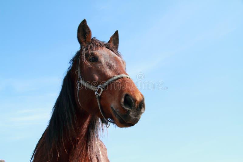 棕色顶头马 免版税库存照片