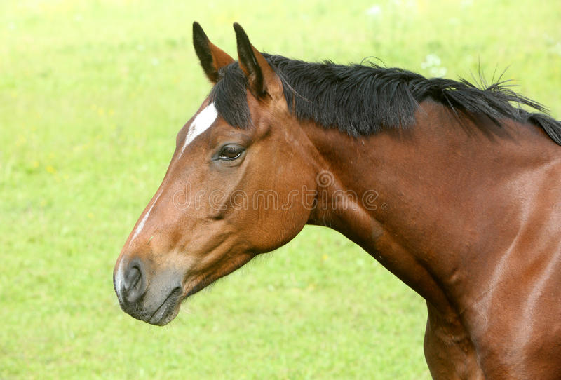 棕色顶头马 免版税库存图片
