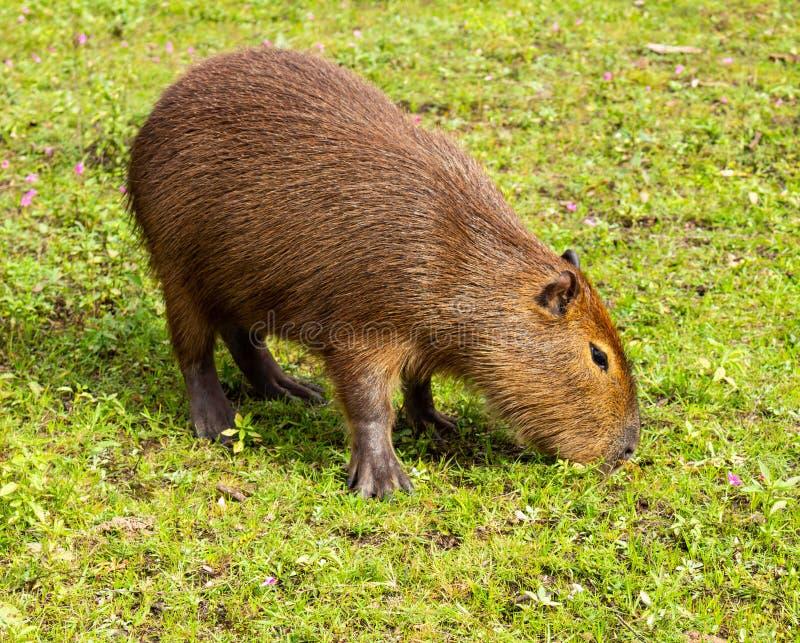 棕色颜色大食草动物从热带的 居住在乡下和在泥浆坑 动物在牧场地 免版税库存照片