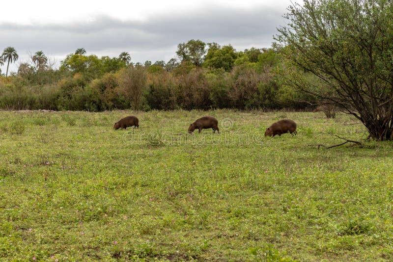 棕色颜色大食草动物从热带的 居住在乡下和在泥浆坑 动物在牧场地 免版税图库摄影