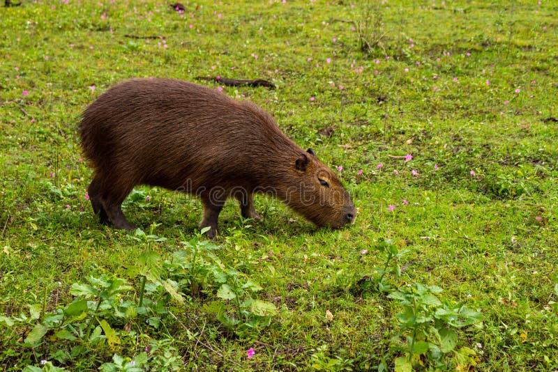 棕色颜色大食草动物从热带的 居住在乡下和在泥浆坑 动物在牧场地 库存图片