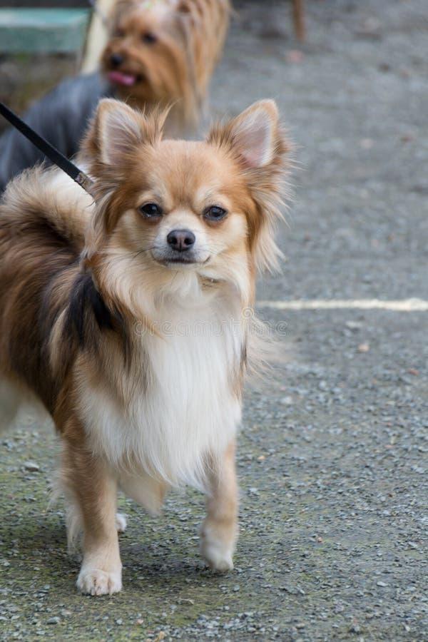棕色颜色奇瓦瓦狗狗  在皮带的立场,特写镜头 图库摄影