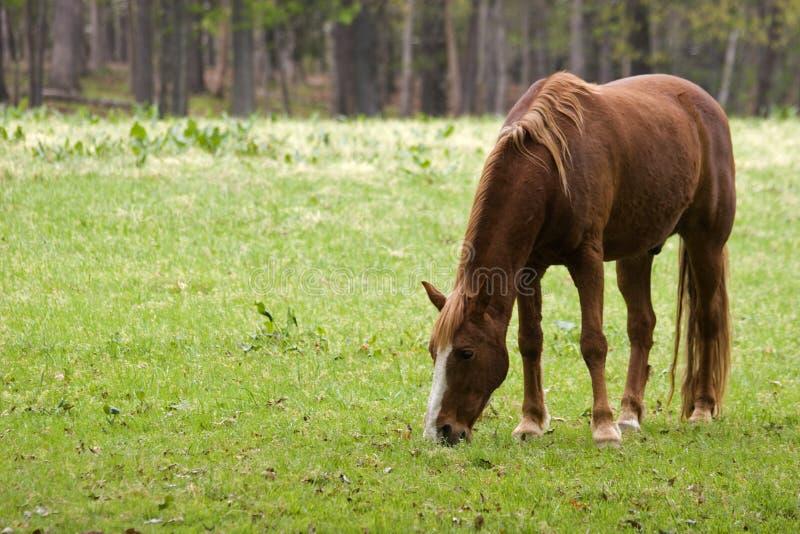 棕色马 免版税库存照片
