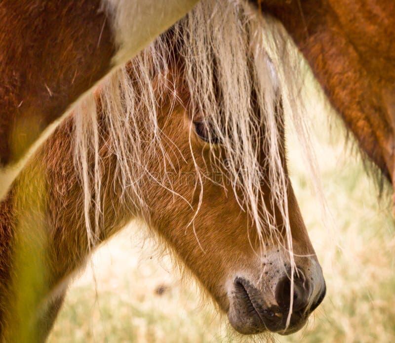 棕色驹掩藏本身在它后的一点是母亲鬃毛 免版税库存照片