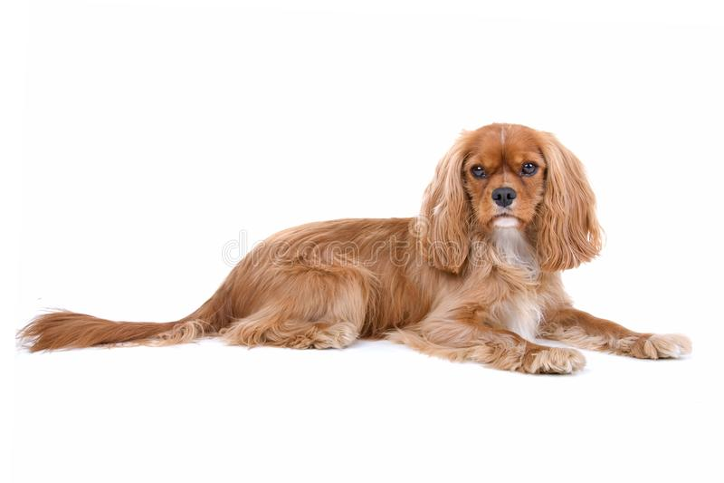 棕色骑士查尔斯国王西班牙猎狗 库存图片