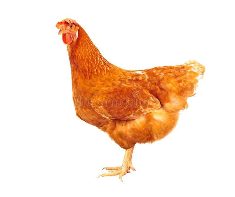 棕色鸡母鸡身分充分的身体隔绝了白色backgroun 免版税库存图片