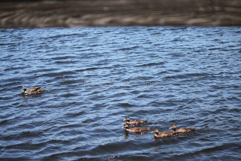 棕色鸭子家庭 库存照片