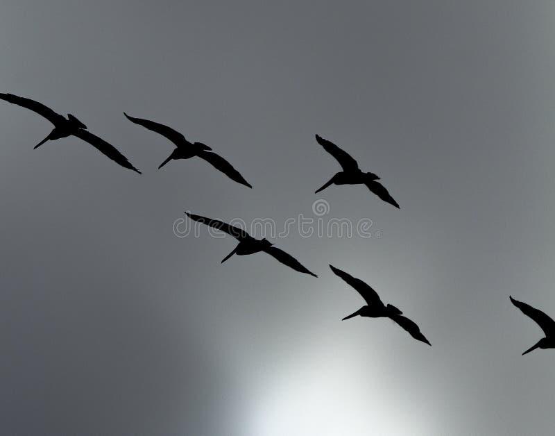 棕色鹈鹕飞行群的剪影在灰色风雨如磐的天空的 免版税库存图片