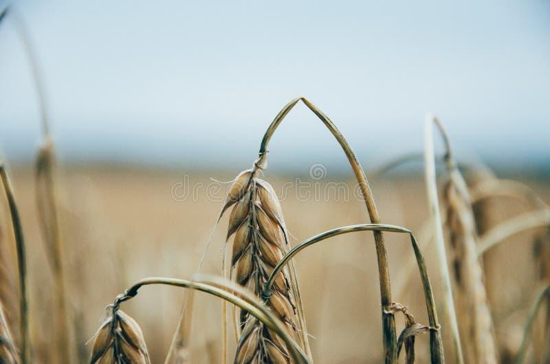 棕色麦子特写镜头摄影  库存图片