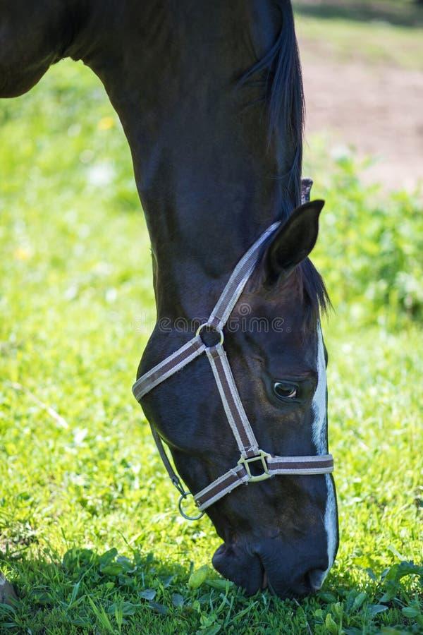棕色Hanoverian马或马衔铁a头在辔的有树绿色背景一棵草在晴朗的夏日 免版税库存照片
