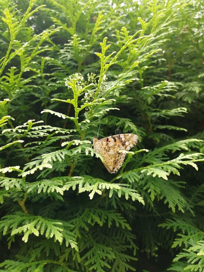 棕蝶坐在树上 自然 免版税库存照片