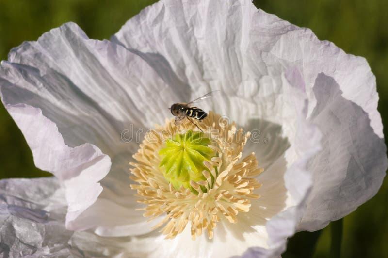 棕黄色昆虫在美丽的白罂粟上的特写 库存图片