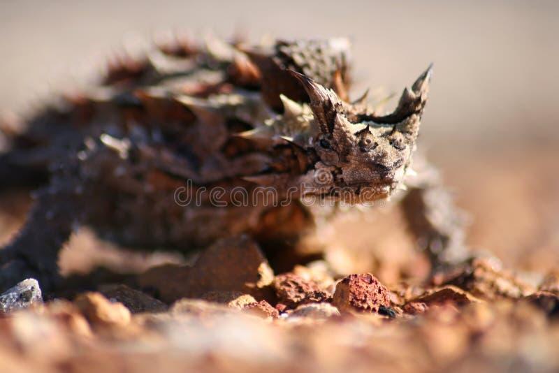 棘手恶魔的蜥蜴 库存图片