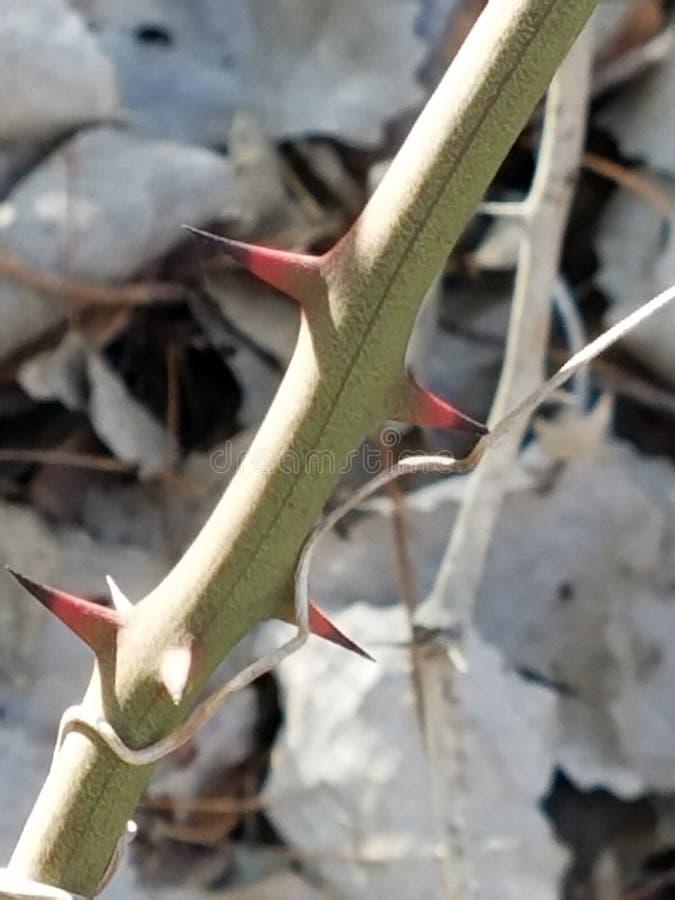 棘手的greenbriar植物 免版税库存照片