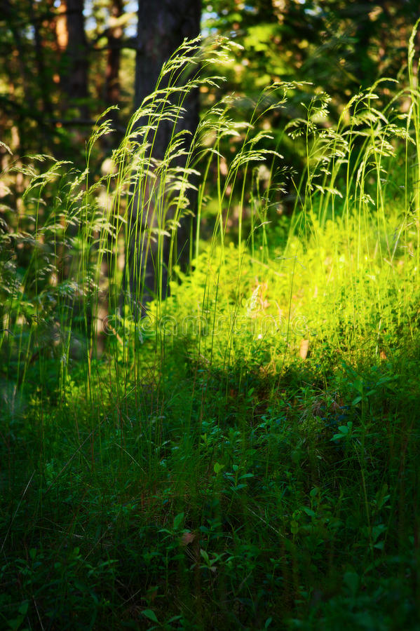 森林下木植被 放牧在森林沼地的生长在草本层数understory或草丛 免版税库存图片
