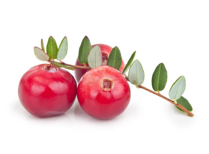 森林与叶子的莓果蔓越桔 免版税库存图片