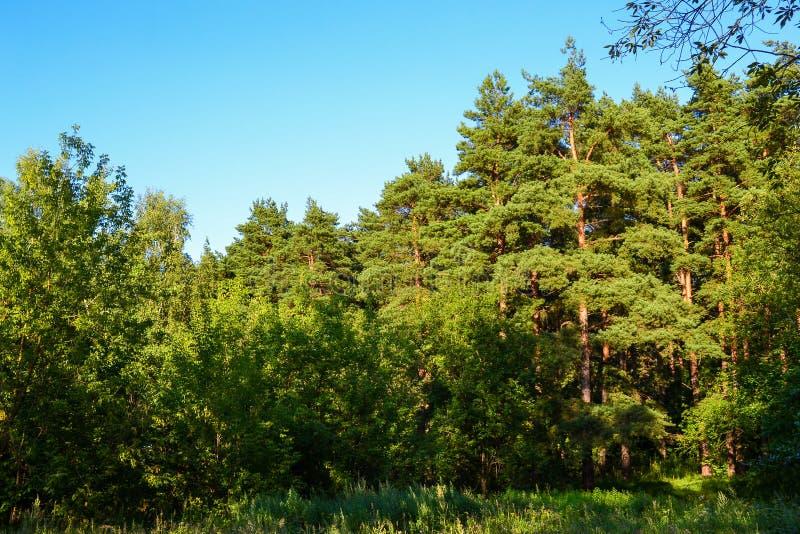 森林丛林 反对蓝天的杉木森林 夏天 图库摄影