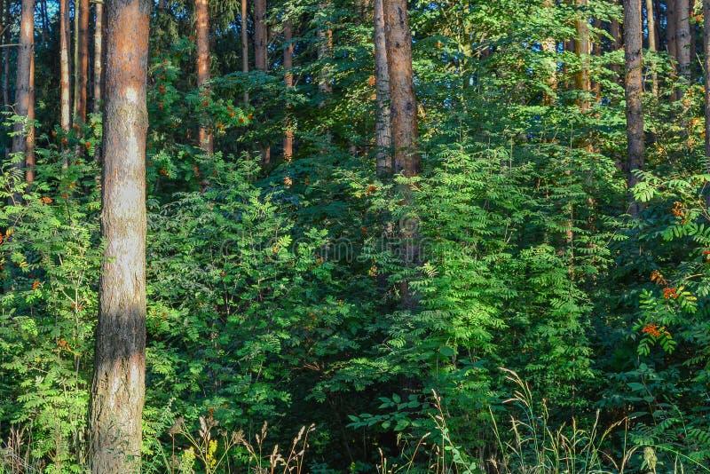 森林丛林 老练的旅客的旅游日程 俄国 免版税库存图片