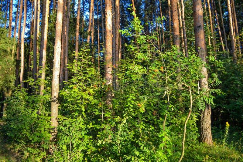森林丛林 老练的旅客的旅游日程 俄国 库存图片