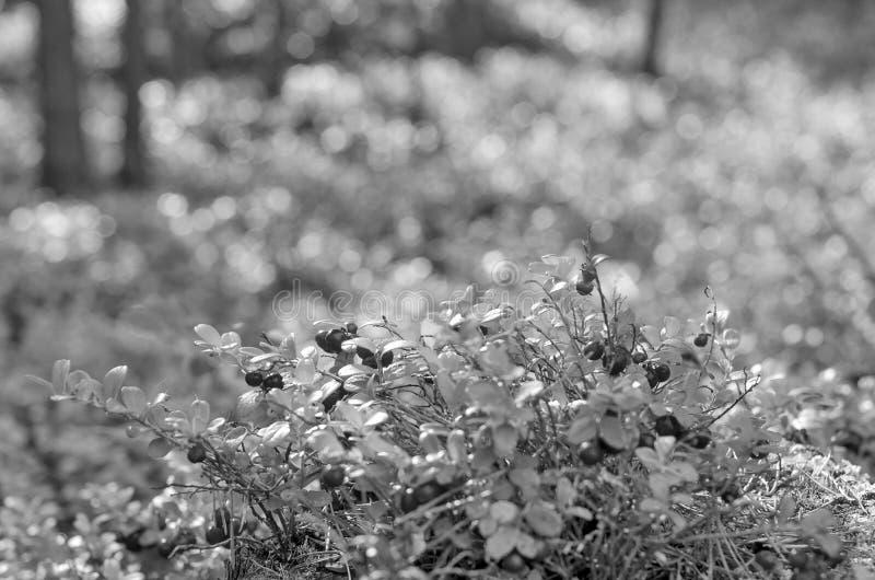 森林中鲜艳多汁的蔓越莓黑白照片 图库摄影