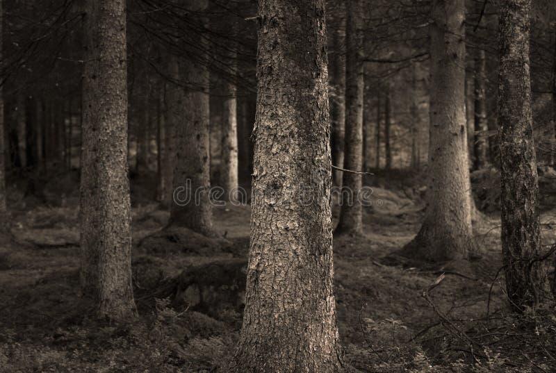 森林乌贼属 免版税库存图片