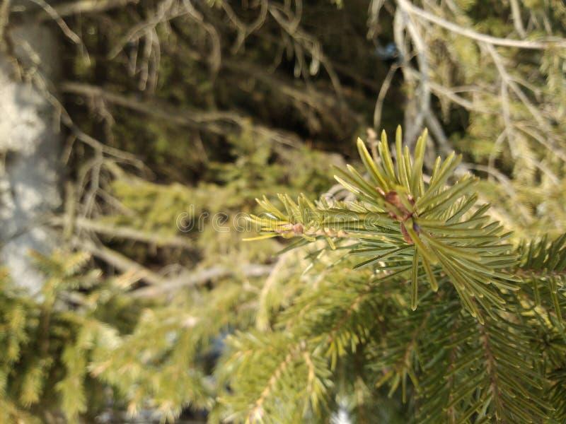 森林云杉的针俄罗斯 库存照片