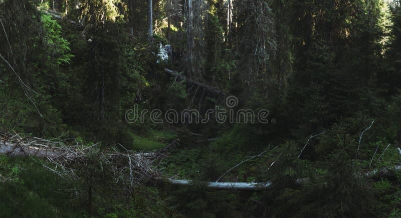 森林全景 在绿色杉树中的下落的树在处女f 库存照片