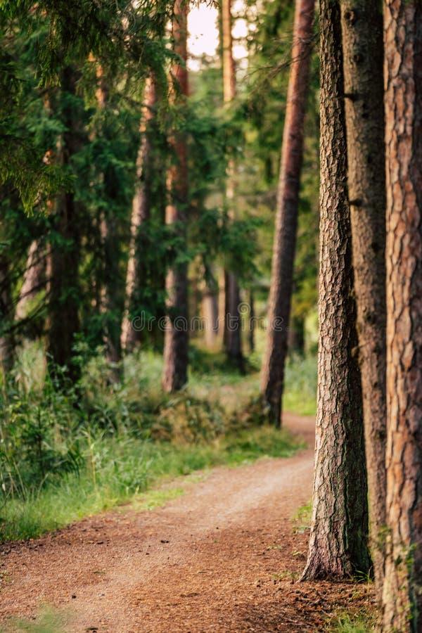 森林公路旅游远足的道路的看法,朝向更深在森林在晴朗的夏日,与自由空间的图象文本的 免版税库存图片