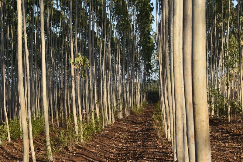 森林分裂的玉树种植园 库存图片