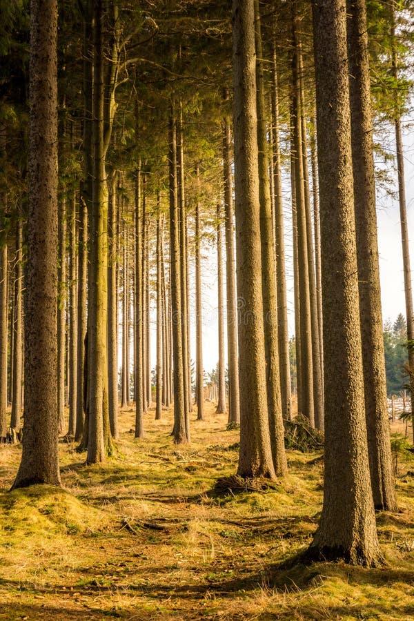 森林和树不可思议的看法在日落期间 柔光和神秘的颜色、树干和秋天草 免版税库存图片
