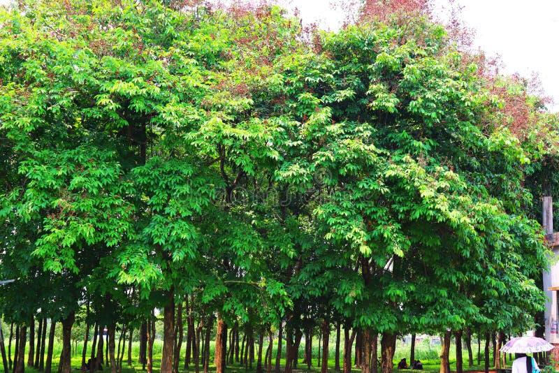 森林和绿色密林树 r 深热带密林 E E r f 免版税库存照片